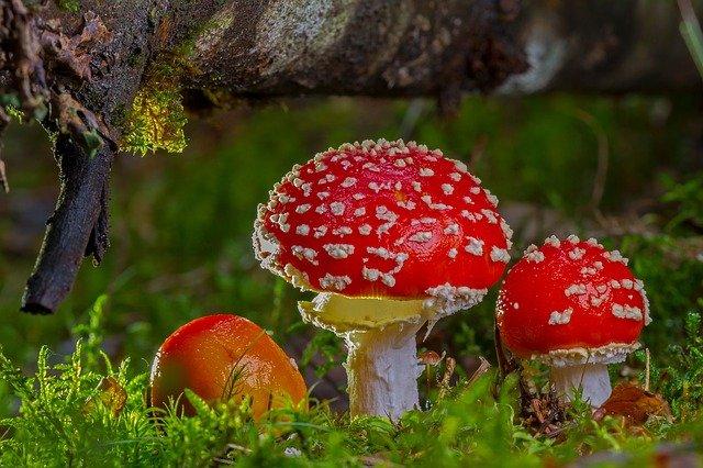 Pilz Fliegenpilz Giftig Wald Pflanze Stock