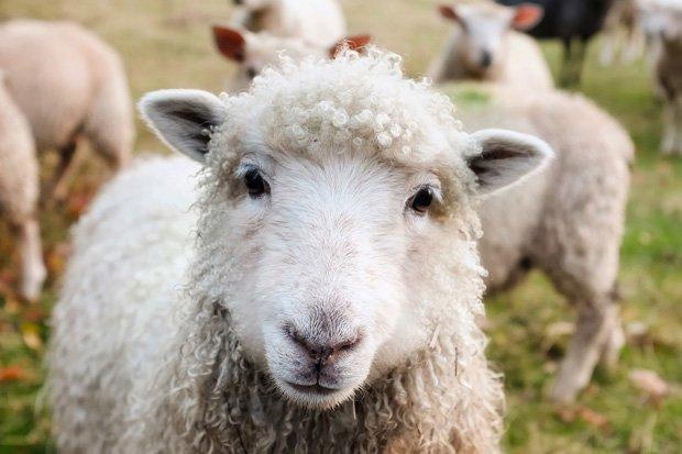 Schafe Bauernhof Tiere stock