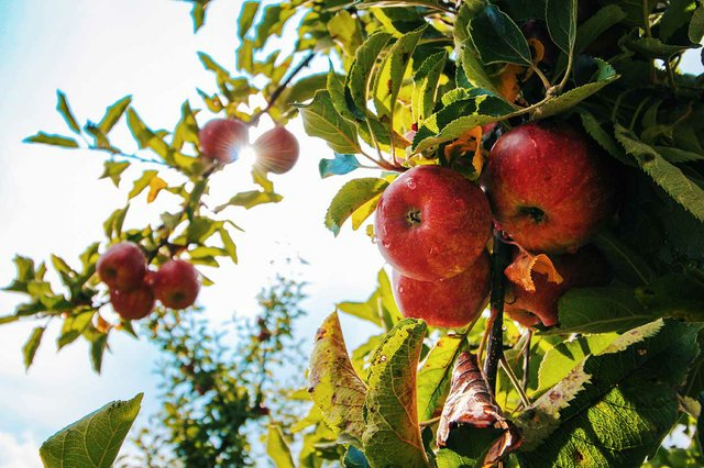 Apfel Stock
