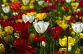 Blumen Tulpen Farben Stock
